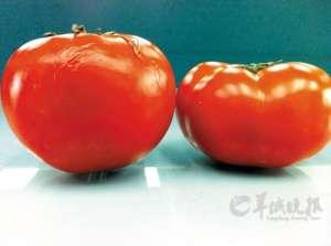 """常温放十天新鲜如初 疑""""问题番茄""""用了催红素?"""