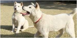 朴槿惠搬离青瓦台惹怒动物保护人士?9只珍岛犬将被转让
