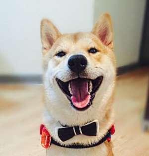 柴犬爱看电视走红 呆萌的表情还会画画被称为最像人类的狗狗