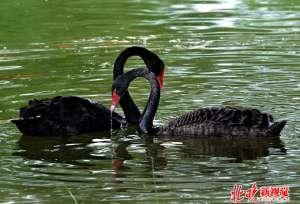 黑天鹅绝食找蛋 悲剧!孵化中断5颗蛋已经不可能孵出天鹅