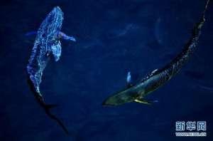 钻探船南海拍鲯鳅 曾在海明威《老人与海》中出现过?
