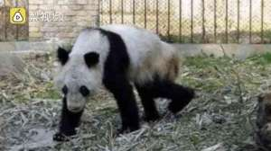 熊猫瘦成皮包骨 网友质疑动物园不给熊猫住舍安装空调和加湿器