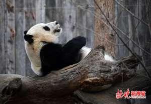 """大熊猫为什么只有""""黑白照片""""? 终于有人给出合理解释了"""