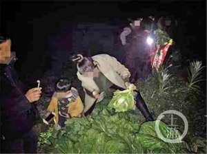 偷青民俗变偷菜 装了满满一车给菜农造成极大的损失