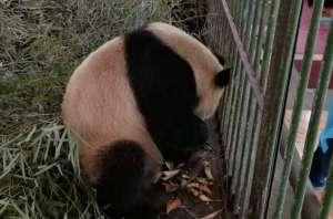 """大熊猫""""蜀兰""""9个月暴瘦60斤? 兰州动物园再遭网友质疑"""