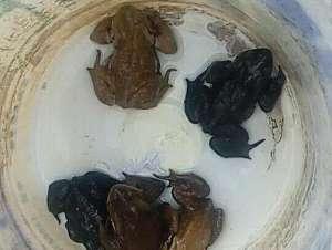 抓癞蛤蟆被刑拘 根据相关法律捕捉50只以上属重大刑事案件